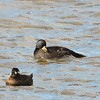 Common Scoter - 2/8/15 - Crescent City, CA. 1st US record.<br /> Also, Surf Scoter,