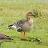 Tundra Bean-Goose - Nastucca Bay National Wildlife Refuge - Oregon - 2/10/15
