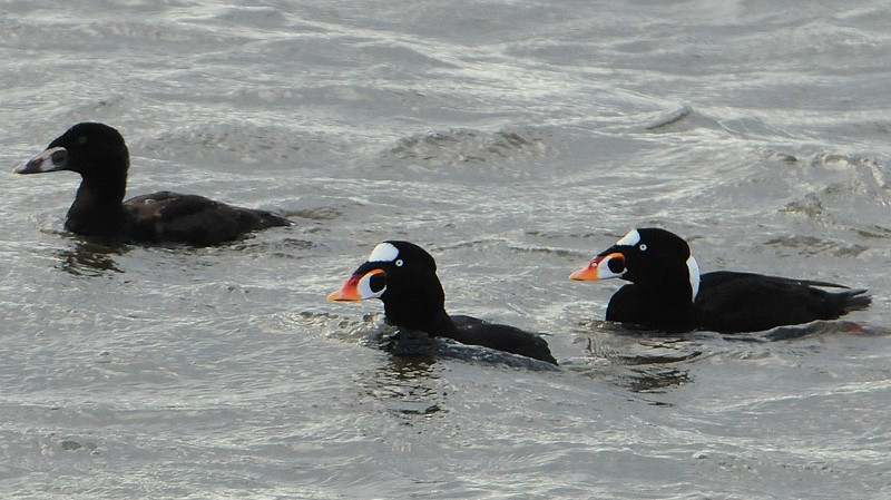 Surf Scoters - 2/8/15 - Crescent City, CA.