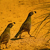 California Quails :