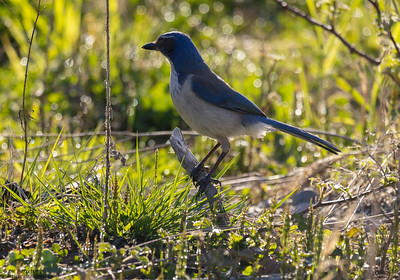 0N5A2778_California Scrub Jay