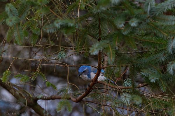 0U2A2915_California Scrub Jay