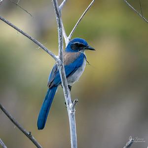 California Jay