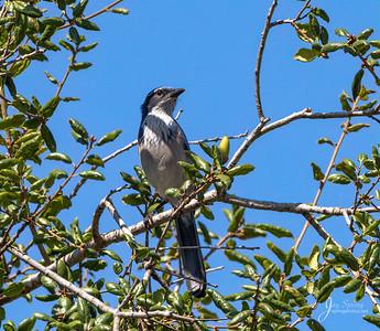 California Scrub Jay