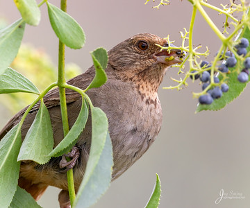 California Towhee with Mulberry