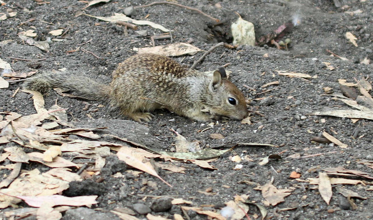 Scaly-backed Two-eared One-eyed Squirrel