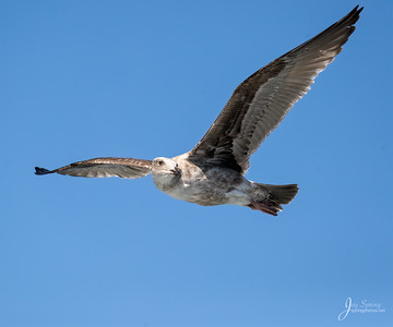 California Gull Juvenile
