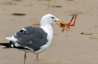 California gull with Cooked Crab Leftovers