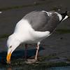 Western Gull 2013 473