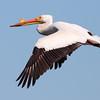 American White Pelican 2013 238