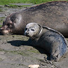 Harbor Seal 2013 425