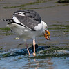 Western Gull 2013 456