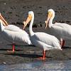 American White Pelican 2013 226