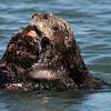 Sea Otter 2013 093
