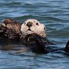 Sea Otter 2013 064