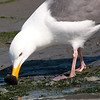 Western Gull 2013 465