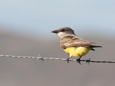 Cassin's Kingbird 2017 101