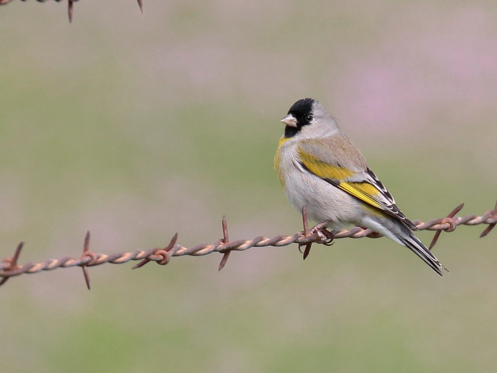 Lawrence's Goldfinch 2017 010