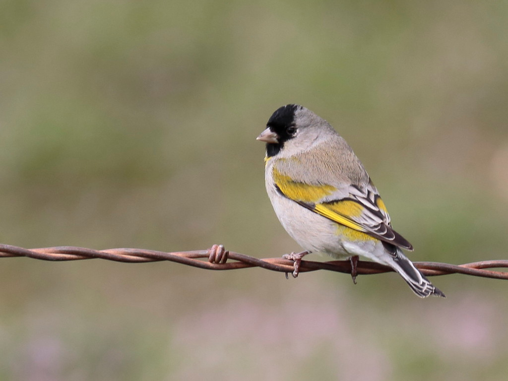 Lawrence's Goldfinch 2017 015