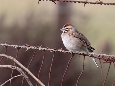 Lark Sparrow 2017 004