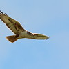 Ferruginous Hawk 2017 063