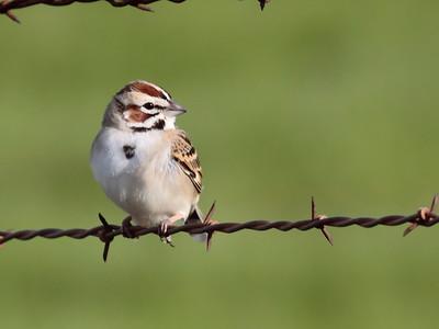 Lark Sparrow 2017 112