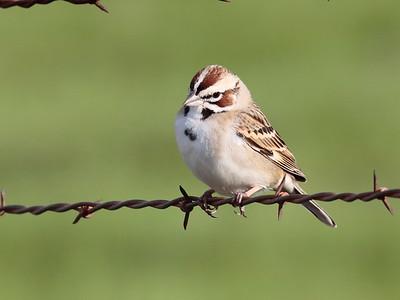 Lark Sparrow 2017 110