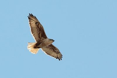 Ferruginous Hawk  2018 156