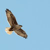 Ferruginous Hawk  2018 156