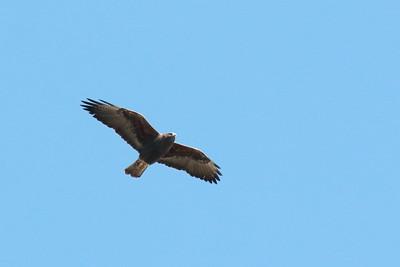 Ferruginous Hawk Dark Morph 2018 005
