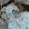 Mono Green-tailed Towhee 2016 089
