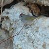 Mono Green-tailed Towhee 2016 088