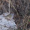 Mono Green-tailed Towhee 2016 046