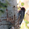 Mono Red-breasted Sapsucker 2016 178