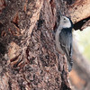 Mono White-breasted Nuthatch 2016 423