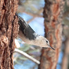 Mono White-breasted Nuthatch 2016 418