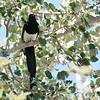 Mono Black-billed Magpie 2016 519