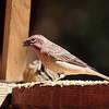 Mono Cassin's Finch 2016 586