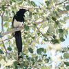Mono Black-billed Magpie 2016 523