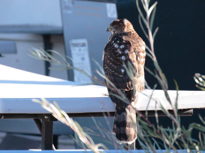 Mono Cooper's Hawk 2016 468