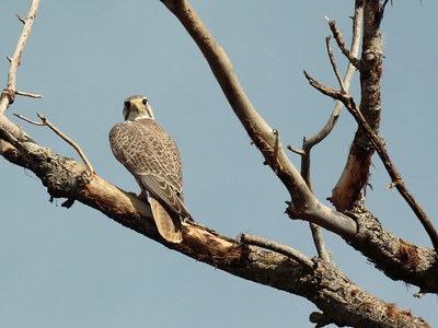 Prairie Falcon 2016 096