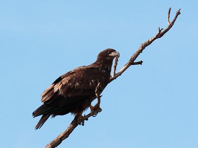 Bald Eagle 2016 116