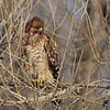 Red-shouldered Hawk 2013 156
