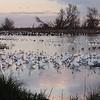 Snow Ross's Goose 2013 061