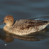 Northern Pintail 2013 282