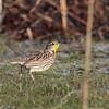 Western Meadowlark 2013 201