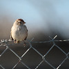 White-crowned Sparrow 2013 100