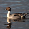 Northern Pintail 2013 035