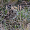 Savana Sparrow 2013 050