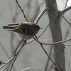 Ruby-crowned Kinglet 2013 226